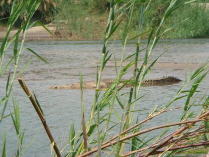 Krokodil Bedrohung